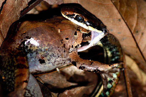 What Eats Frogs and Tadpoles in the Tropical Rainforests | AnimalsTime | Scoop.it