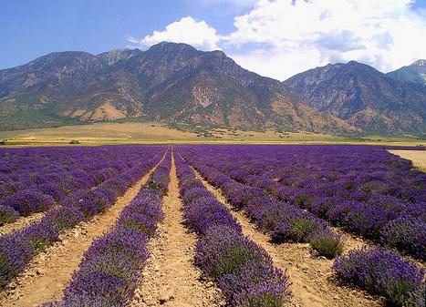 Lavender Oil for Migraine Headaches - Lavender Oil Benefits HQ   Skin Disease Remedies   Scoop.it