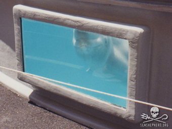 @SeaShepherd Conservation Society :: The Georgia Aquarium to Fight #Denial of the Aquarium's #Permit Application to Import 18 Wild-Caught #Belugas   Rescue our Ocean's & it's species from Man's Pollution!   Scoop.it