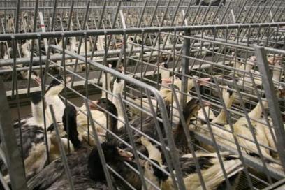 Coulaures : Du foie gras pour mi-juillet | Agriculture en Dordogne | Scoop.it