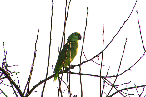 Wild parrots making themselves at home in San Jose's tree and backyard gardens | All Things Zygodactyl | Scoop.it