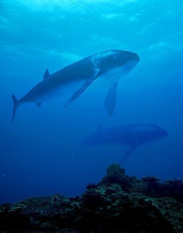 Ancient Fish Downsized But Still Largest Ever | Protecting the Oceans | Scoop.it