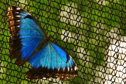 One Butterfly Inspires Multiple Technologies | Biomimicry | Scoop.it