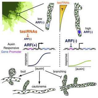 Ancient trans-Acting siRNAs Confer Robustness and Sensitivity onto the Auxin Response: Developmental Cell | plant cell genetics | Scoop.it