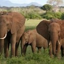 Four Ivory Smugglers Arrested with 44 Elephant Tusks in Cameroon | Wildlife Trafficking: Who Does it? Allows it? | Scoop.it