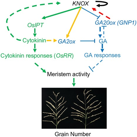 The QTL  GNP1  Encodes GA20ox1, Which Increases Grain Number and Yield by Increasing Cytokinin Activity in Rice Panicle Meristems | Plant Biochemistry | Scoop.it