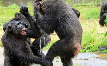 Chimpanzees Try Their Hands at Plumbing, Celebrate When Cold Water Returns | fitness, health,news&music | Scoop.it