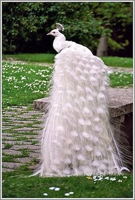 White Peacock | Nature | Scoop.it