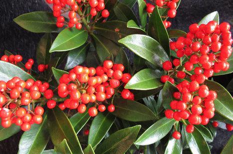 Des baies rouges qui valent de l'or : Skimmia japonica 'Pabella' | Nouveautés végétales | Scoop.it