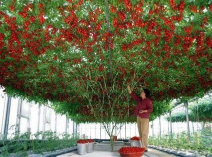 """Octopus Tomato Trees"" Can Yield up to 32,000 Tomatoes per Harvest - arccasa.com 