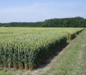 N.C. wheat field days are set for May | NCSU Small Grain Production website | North Carolina Agriculture | Scoop.it