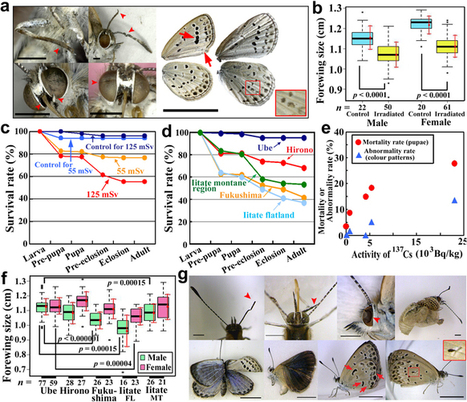 The biological impacts of the Fukushima nuclear accident on the pale grass blue butterfly | Anthropocene, Capitalocene, Chthulucene,  staying with the trouble at Fukushima | Scoop.it