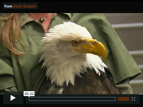 Restoring Beauty – video:  Injured bald eagle now has a bionic beak -  Disabled duck gets new foot thanks to 3D printing | Brainfriendly motivating comprehension resources for ESL EFL learners | Scoop.it