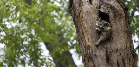 VIDEO. Quand maman raton-laveur emmène, tant bien que mal, ses petits au lit | Biodiversité | Scoop.it