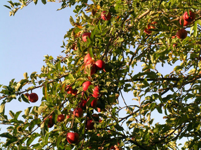 Apple Medicinal Properties: Blood Purifier and Good Source of Iron | Plantsheal | Scoop.it