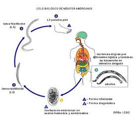 Parasitología: Nematelmintos parásitos: Ascaris-Necator | Necator Americanus | Scoop.it
