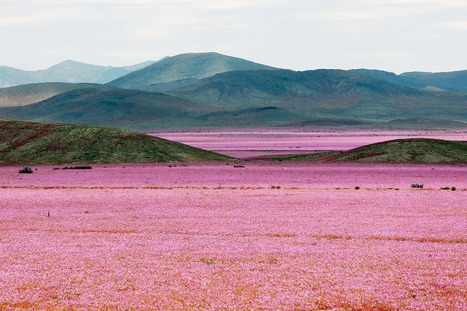 One of Earth's driest places is now a pink flower wonderland | pixels and pictures | Scoop.it