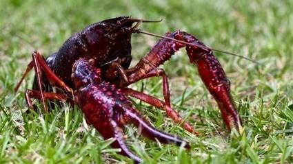 Las especies invasoras: un problema creciente para el medio ambiente y la salud | aprendenaturales | Scoop.it