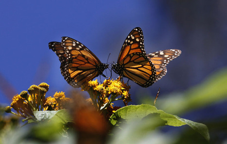 Don't Forget Butterflies! Our Pollination Crisis Is About More Than Honeybees | GarryRogers Biosphere News | Scoop.it