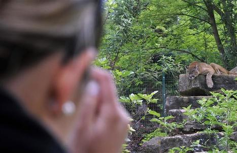Une nouvelle bête hante le Gévaudan : habitants et chasseurs sur la trace d'un puma   chasse   Scoop.it