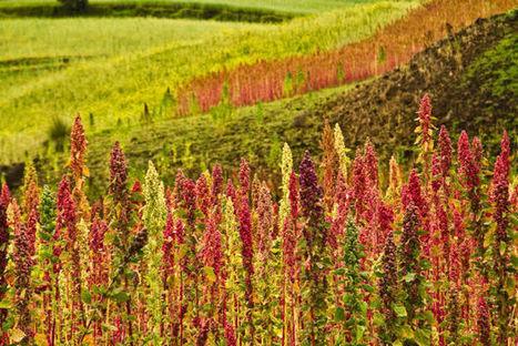 The Quinoa Economy | Permaculture, Environment, & Homesteading | Scoop.it