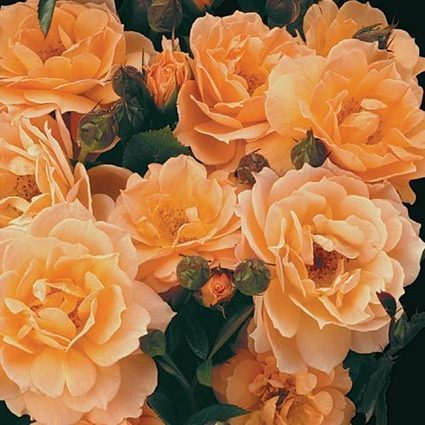 What a Peach™ Shrub Rose | Springhill Nursery | Scoop.it