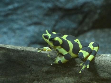 Photo d'Anoure : Grenouille dorée du Panama - Atelopus zeteki - Panamanian golden frog | Fauna Free Pics - Public Domain - Photos gratuites d'animaux | Scoop.it
