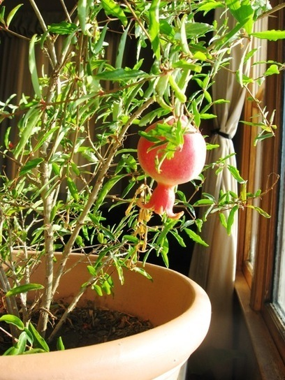 Grow Your Own Super Fruit: The Pomegranate | plant science | Scoop.it
