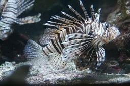 Get Those Lionfish! | Edible South Florida | All about water, the oceans, environmental issues | Scoop.it