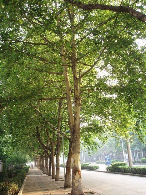 Aix-en-Provence : la guerre du platane est déclarée | Chimie verte et agroécologie | Scoop.it