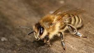 La abeja entra en la lista de animales en peligro de extinción en EEUU   HISTORIA Y GEOGRAFÍA VIVAS   Scoop.it