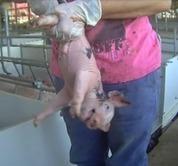 American Factory Farming: Feeding China's Demand for Pork - MFA Blog   Nature Animals humankind   Scoop.it