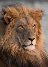 Crece el comercio de huesos de león para pócimas sexuales - | Agua | Scoop.it