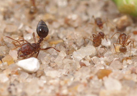 Crazy ants dominate fire ants by neutralizing their venom | Science, Technology, and Current Futurism | Scoop.it