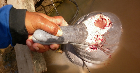 Stop the illegal dolphin slaughter in Brazil | Planeta Tierra | Scoop.it