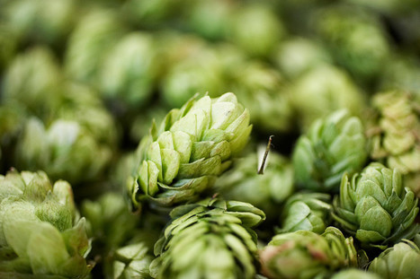Mmm, Beer: Brewers Are on a Quest to Breed a Better Hop - Wired | Agricultural Biodiversity | Scoop.it