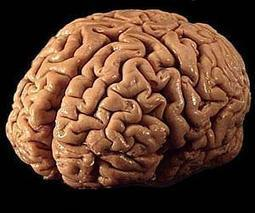 Extra gene drove instant leap in human brain evolution | Sustain Our Earth | Scoop.it