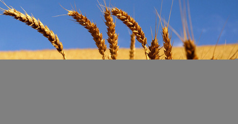 Chinese Researchers Create Disease-Resistant Wheat by Deleting Genes - Mashable | plant cell genetics | Scoop.it