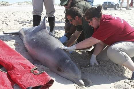 Die-off of bottlenose dolphins, linked to virus, is worst in 25 years   Virology News   Scoop.it