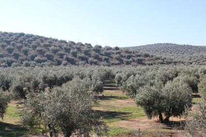 SYRIE/TURQUIE : La domestication de l'olivier a commencé au Proche-Orient | World Neolithic | Scoop.it