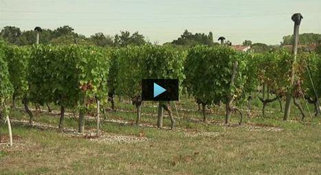Vigne : le biocontrôle est sur les rangs | Les colocs du jardin | Scoop.it