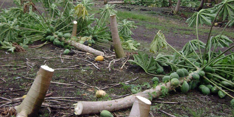 Genetically Modified Papayas In Hawaii Hacked Down over Night | Genetically Modified (GM) Trees | Scoop.it