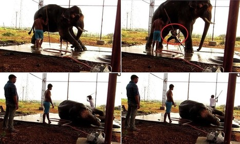 Video exposes the brutal beatings given to elephant | Nature Animals humankind | Scoop.it