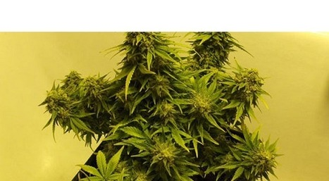 Autoflowering Strains Offer Easy Yields | Store My Cannabis | Scoop.it