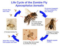 Zombie Bees Headed Our Way? | Memoirs of a Chonga | Scoop.it