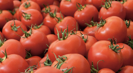 Genetically Modified Tomatoes Counteract Heart Disease | Five Regions of the Future | Scoop.it