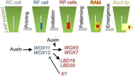 Transcription Factors WOX11/12 Directly Activate WOX5/7 to Promote Root Primordia Initiation and Organogenesis | Plant roots and rhizosphere | Scoop.it