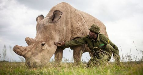 Scientists hope to save near-extinct rhinos with stem cells   Amazing Science   Scoop.it