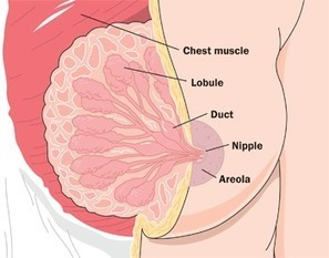 Breast Changes in Pregnancy and Lactogenesis | HEALTH News | Scoop.it