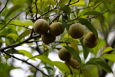 Indonesian villagers transform ailing forests into oasis of fruit | Natural Capital | Scoop.it